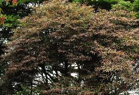 Acer palmatum 'Julian' habitus , érable du Japon