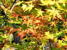 Acer palmatum 'Summer Gold' Erable du Japon