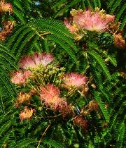 Albizia julibrissin 'Tropical Dream'  bloemenvn