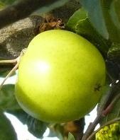 P pini res par categorie de plantes for Ventes de plantes par internet