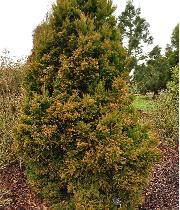 Cryptomeria japonica 'Winter Bronze' habitus  Cèdre du Japon - Cryptomère
