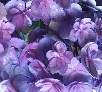 HydrangeamacrophyllaYouMeTogetherflowers