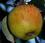 Malus domestica 'Reine des Reinettes' syn 'King op the Pippins'