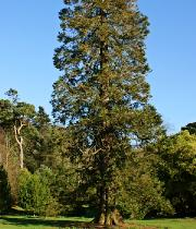 Sequoiadendrongiganteumhabitus